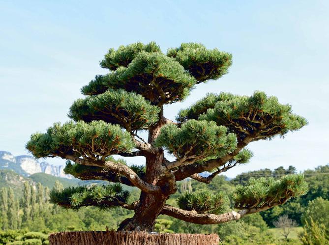 Comment tailler ses arbres en nuage elle d coration - Bonsai arbre prix ...