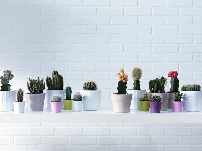pourquoi le cactus est il si tendance elle d coration. Black Bedroom Furniture Sets. Home Design Ideas
