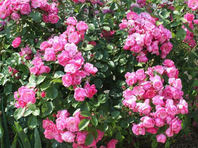 Le rosier angela l un des meilleurs rosiers elle for Decoration jardin rosier