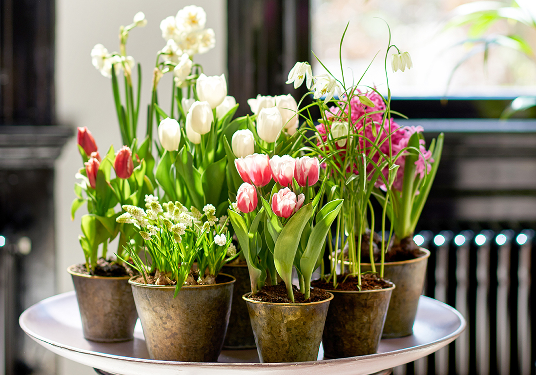Comment Entretenir Des Tulipes Elle D 233 Coration