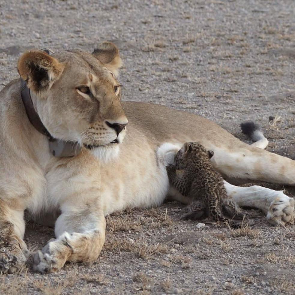 du jamais vu une lionne adopte et nourrit un b b l opard elle. Black Bedroom Furniture Sets. Home Design Ideas